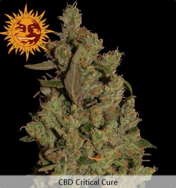 Barneys-Farm-CBD-Critical-Cure