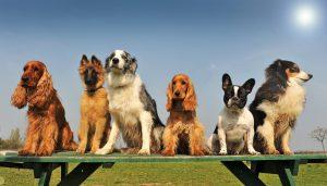 CBD-olie voor honden