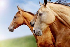 CBD-olie paarden